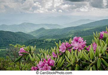 catawba, bergen, achter, rododendron