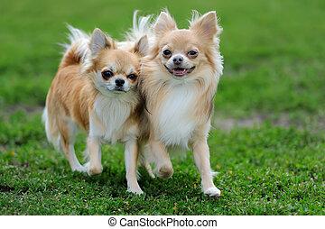 chihuahua, langharige, dog, twee