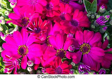 cineraria, maritima, bloemen, bloem, rood