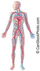 circulatory, af)knippen, volle, illustratie, cutaway, systeem, figuur, anatomie, menselijk, included., steegjes
