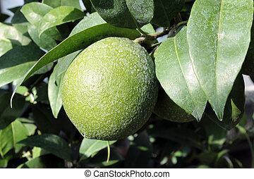citroen, fruit boom