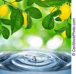 citroenboom, citroenen
