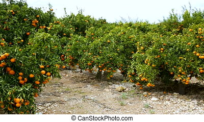 citrus vrucht, bomen, boerderij, sinaasappel, mandarijn, rijp