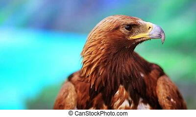 close-up, adelaar, mongolië, aanzicht