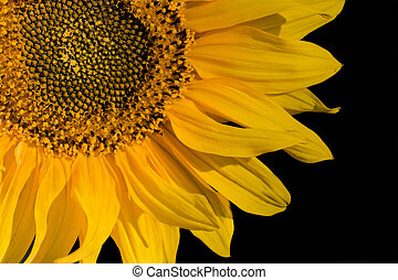 close-up, black , vrijstaand, zonnebloem
