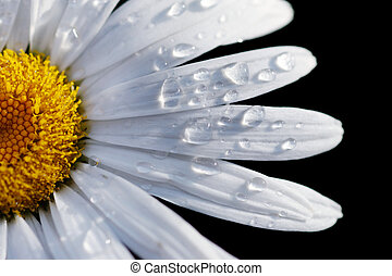 close-up, bloem, dof, macro, ondiep, vrijstaand, brandpunt, water, drops., madeliefje, black.