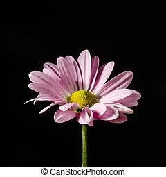 close-up., bloem, vrijstaand, black.
