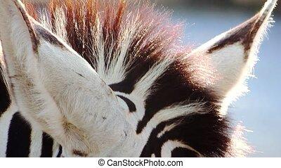 close-up, oog, zebra