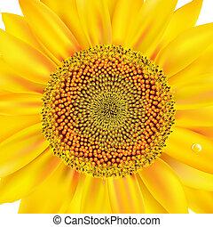 closeup, zonnebloem