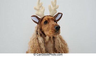 cocker, vervelend, dog, spaniel, rendier, horns