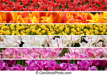 collage, regenboog kleurt, tulpen
