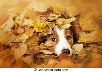 collie, bladeren, dog, jonge, herfst, grens, spelend
