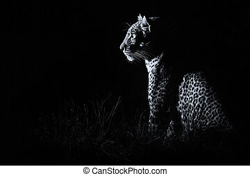 conversie, duisternis, jacht, zittende , luipaard, prooi, artistiek