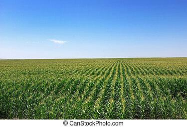 cornfield, portugal.