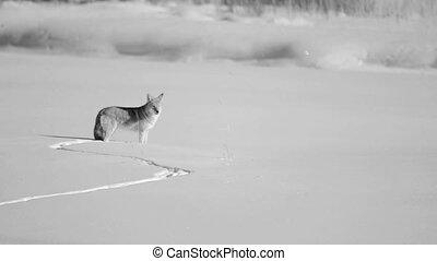 coyote, weide, huilend