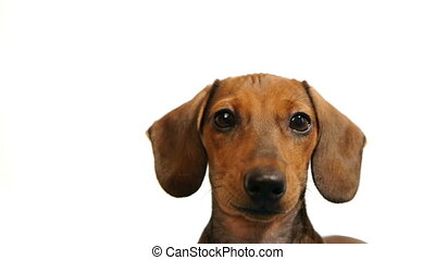 dachshund., hoofd, -, honden, hd