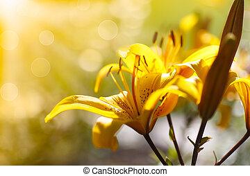 dag lelies, zonnig, bloeien, gele
