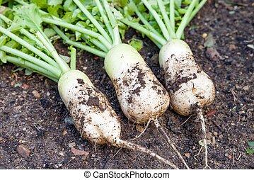 (daikon), uk, planten, radijsje, mooli, groente, wortels, bed