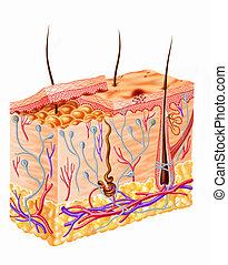 diagram, gedeelte, menselijke huid