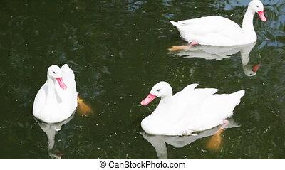 dierentuin, drie, meer, witte , zwanen, zwemmen