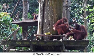 diner, orangutan, gezin