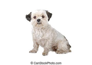 dog, boomer, zittende