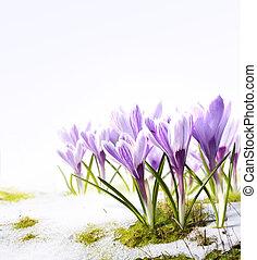 dooi, bloemen, kunst, sneeuw, krokus