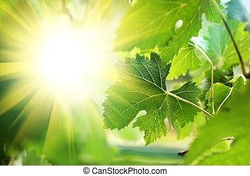 door, bladeren, zon, grapevine, het glanzen
