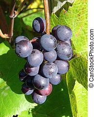 druiven, wijntje