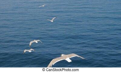 duidelijk, visje, insecten, zoeken, sky., seagulls, hoog, vogels te vliegen, vlieg, prooi, het stijgen, drie, of, blauwe , cloudless, gulls