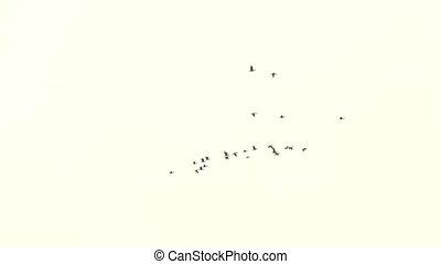 duidelijk, vliegen, hemel, achtergrond., vlucht, vogels