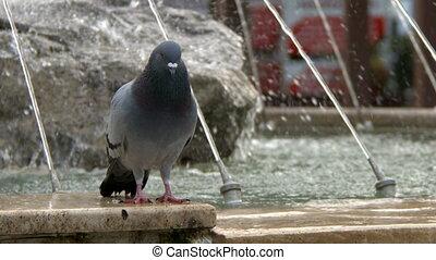 duif, dier, vogel, duiven, fontijn