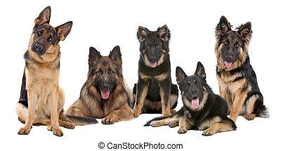 duitse herdershond, groep, honden