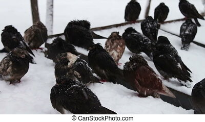 duiven, besneeuwd, bevroren, zittende , afval, doosje, partij