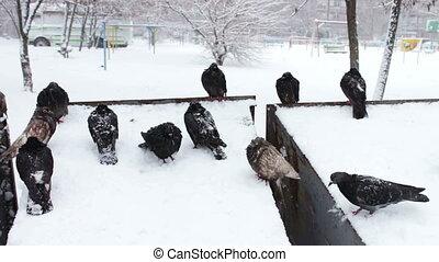 duiven, besneeuwd, grijs, bevroren, zittende , afval, doosje, partij