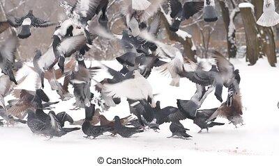 duiven, het opstijgen, vlucht
