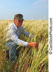 durum, tarwe, inspecteren, farmer