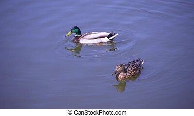 eend, natuurlijke , vijver, paar, mannetjeseend, zwemmen, zomer, mallard, habitat, reflectie, hun, water