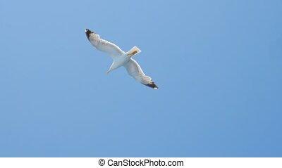 egeïsch, hoog vliegen, reizen, blauwe , vrijheid, gull, it., wild, duidelijk, zee vogel, concept., nature., sea., hemel, flying., sky., vogels, idee
