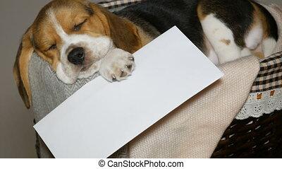 enveloppe, brak, mand, witte , puppy, honden