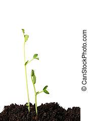erwt, seedlings