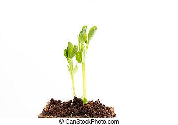 erwt, turf, groene, pot, seedlings