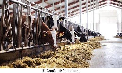 eten, boerderij, kudde, koestal, hooi, melkinrichting, koien