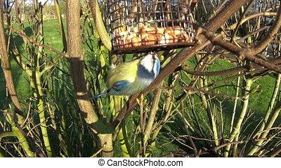 europees-aziatisch, tit, blauwe , het voeden, vogel