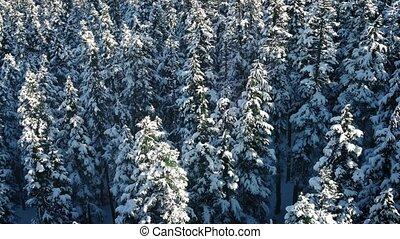 evergreen, op, vlucht, bomen, besneeuwd