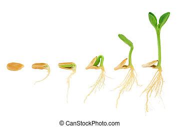 evolutie, concept, opeenvolging, vrijstaand, plant, groeiende, pompoen