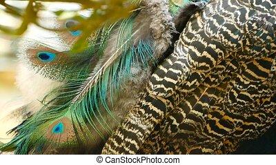 exotische , pauw, vogel, plumage., kleurrijke, vliegen, feathers., op, elegant, indiër, groene, artistiek, textured, wild, peafowl, afsluiten