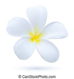 exotische plant, bloem, kunst, blossom , hawaii, frangipani, tropische , vector, plumeria, witte