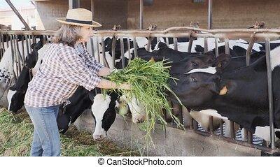 farmer, koien, zomer, fris, het voeden, gras, vrouwlijk, werkdag, groene, bekwaam, bejaarden, koestal