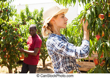 farmer, perziken, oogst, vrouw